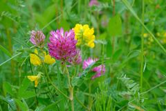 Red Clover flowers Stock Image