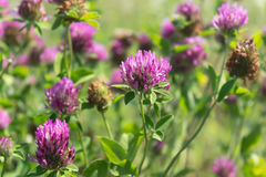 Red clover flowers field. Flowerbed Stock Image