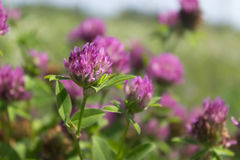 Red clover flowers field Royalty Free Stock Photo