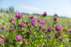 Red clover flowers field. Flowerbed Royalty Free Stock Images