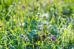 Red clover flowers on the field. Stock Images