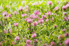 Red clover flowers on a field Royalty Free Stock Photo