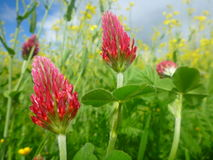 Red clover flowers in meadow Royalty Free Stock Photography