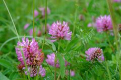 Red Clover flowers Stock Photography