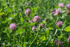 Red clover flowers selective focus. Closeup to red clover flowers selective focus royalty free stock photo