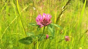 A red clover on the grass royalty free stock images