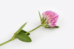 Red clover on gray background Royalty Free Stock Photos