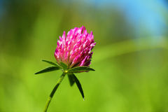 Red Clover. With a green background Stock Images