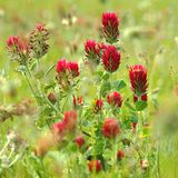 Red clover incarnate. A species of field weeds - Red clover (trifolium incarnatum royalty free stock image