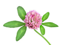 Red clover isolated Royalty Free Stock Photography