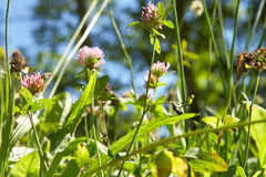 Red clover in meadow royalty free stock photo