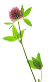 Red-clover or Meadow Clover & x28;Trifolium pratense& x29;. Flowering plant against white background royalty free stock photography