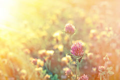 Red clover in meadow Stock Photography