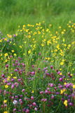 Red Clover Meadow Flowers Royalty Free Stock Image