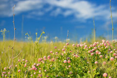 Red clover in meadow Royalty Free Stock Photography