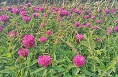 red clover in the meadow royalty free stock photography