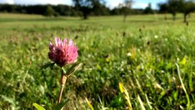 Red clover, medicinal plant. Closeup and macro of flower stock video footage