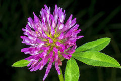 Red clover, medicinal plant Royalty Free Stock Image