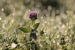 Red Clover with morning dew Royalty Free Stock Photo