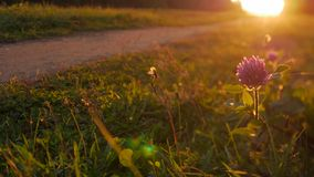 Pathway in the oautumn in sunlight, nature background. Red clover at the park trail with the sunset, nature background. Close up stock video footage