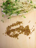 Red clover sprouts and seeds Royalty Free Stock Photography