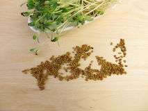 Red clover sprouts and seeds Stock Images