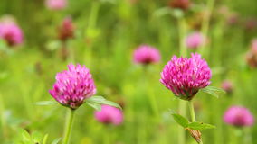 Red clover stock footage
