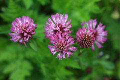 Red Clover - Trifolium Pratense Stock Photos