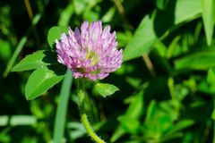 Red Clover - Trifolium pratense. Close up of a Red Clover flower. Rouge National Urban Park, Toronto, Ontario, Canada Royalty Free Stock Images