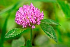 Red Clover (trifolium pratense) flowerhead. Close up Stock Photo