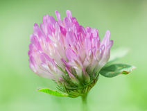Red clover. Trifolium pratense, the red clover is a herbaceous species of flowering plant in the bean family Fabaceae Stock Photos