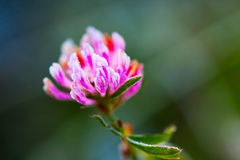 Red clover (Trifolium pratense) with hoarfrost Royalty Free Stock Images
