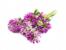 Red clover.Trifolium pratense isolated Royalty Free Stock Photo