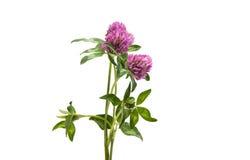 Red Clover Trifolium pratense Royalty Free Stock Image