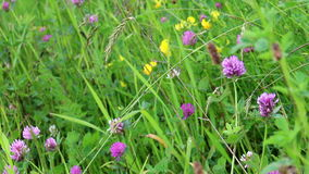 Red clover (Trifolium pratense). Pink flowers of red clover (Trifolium pratense) at the morning meadow stock video