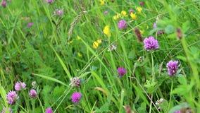 Red clover (Trifolium pratense) stock video