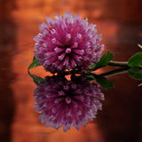 Red clover Trifolium pratense Royalty Free Stock Photo