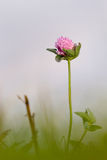 Red clover. (Trifolium pratense) in soft morning light Stock Images