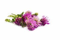Red clover.Trifolium pratense  Stock Photo