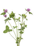 Red clover. (Trifolium pratense) on white background Royalty Free Stock Photos
