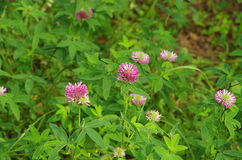 Red clover in wild nature Royalty Free Stock Photos