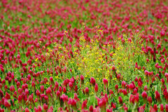 Red Clover And Yellow Canola Stock Photos