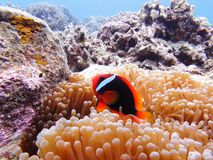 Red Clown(Amphiprioninae) Royalty Free Stock Photos