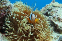 Red Clown( Amphiprion frenatus) Royalty Free Stock Image