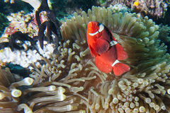 Red Clown fish in anemone Raja Ampat Papua. Indonesia Royalty Free Stock Photography