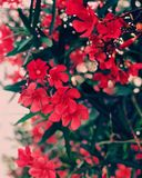 Red Cluster Flowers With Green Leaves Stock Images