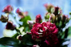 Red cluster rose. Bouquet of red cluster rose on window sill Royalty Free Stock Images