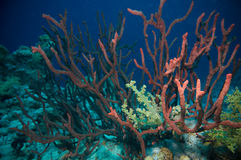 Red Cluster whip coral (Ellisella juncea) Stock Photo