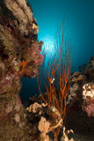 Red cluster whip and tropical reef. Royalty Free Stock Photos
