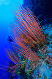 Red cluster whip and tropical reef Royalty Free Stock Photography